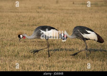 Zambia, South Luangwa National Park. Breeding pair of Grey crowned cranes in grassland habitat (Balearica regulorum) - Stock Photo