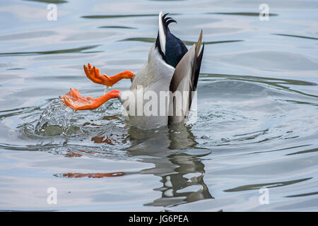 A male mallard duck feeding on the bottom of the lake - Stock Photo