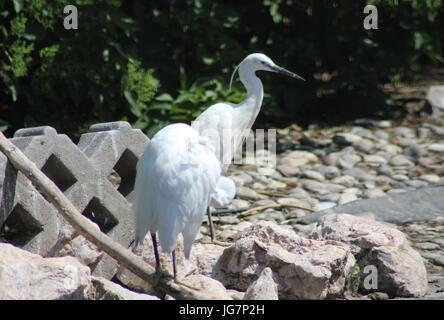 Little egret - Stock Photo