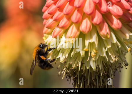 A bee is sitting on a kniphofia flower on a summer day to drink nectar. - Stock Photo