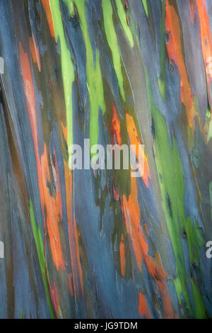 Looking up trunk of Rainbow Eucalyptus tree. Hawaii Island. The Big Island - Stock Photo