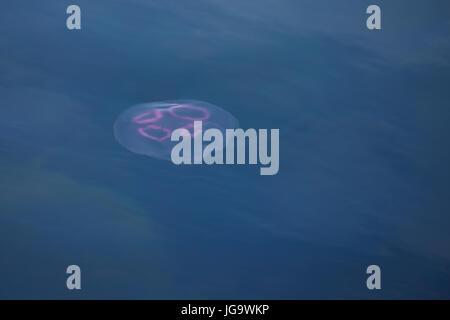Ohrenqualle, Ohren-Qualle, Qualle, Quallen, Meduse, Aurelia aurita, moon jelly, moon jellyfish, common jellyfish, saucer jelly, La méduse commune, Aur
