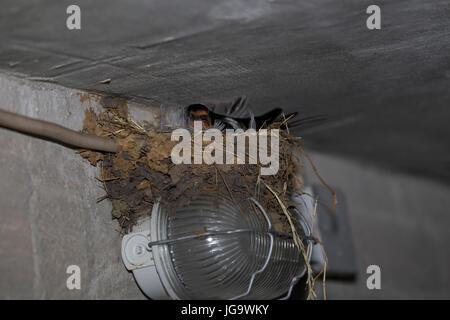 Rauchschwalbe, Rauch-Schwalbe, Schwalbe, Schwalben, brütend im Lehmnest, Nest an Lampe in einem Stall, Hirundo rustica, - Stock Photo