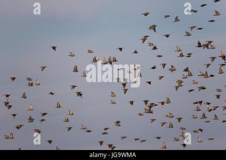 Star, Stare, Trupp, Schwarm, Starenschwarm, Sturnus vulgaris, European starling, common starling, L'Étourneau sansonnet - Stock Photo