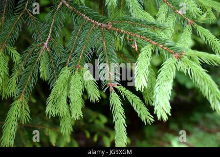 green branches of a fir with new young sprouts needles close-up view in springtime - Stock Photo