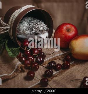 Little african hedgehog - Stock Photo
