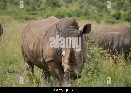 White Rhinoceros in Pilansberg National Park - Stock Photo