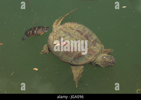 Snapping turtle, Chelydra serpentina, and painted turtle Chrysemys picta  feeding  on algae on the snapping turtle's - Stock Photo