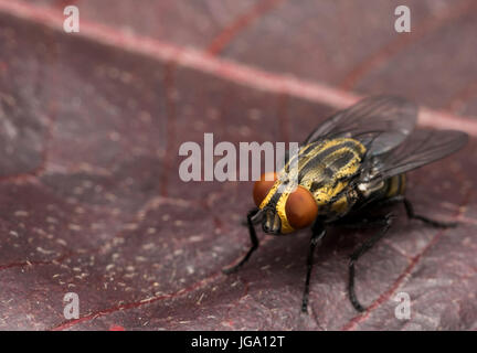 Yellow house fly on a red tree leaf - Stock Photo
