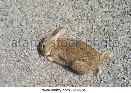 Young rabbit, Oryctolagus cuniculus, a victim of road kill after being hit by a car - Stock Photo