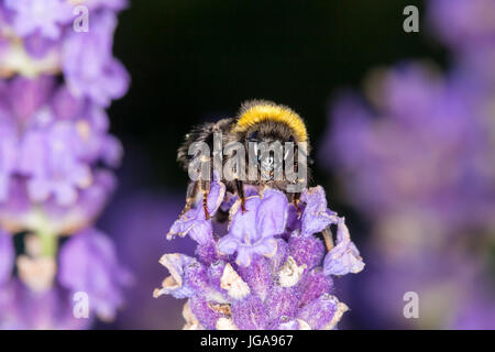 Bumblebee (Bombus) on lavender (Lavandula) - Macro shot - Stock Photo