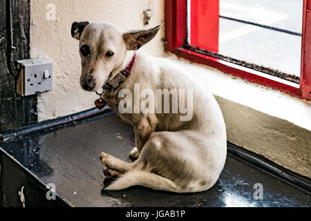 A small dog (Scientific name: Canis lupus familiaris) sits by a pub window in the Dingle peninsula, Ireland. - Stock Photo
