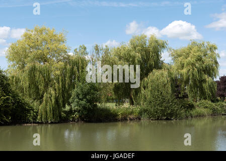 Willow trees line a riverbank in Southern England UK - Stock Photo