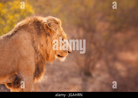 Close up of a male lion in early morning sunlight in Kruger National Park, South Africa. - Stock Photo