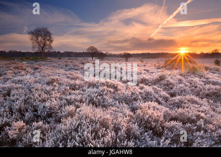 Frosted heather in winter, photographed at sunrise near Hilversum in The Netherlands. - Stock Photo