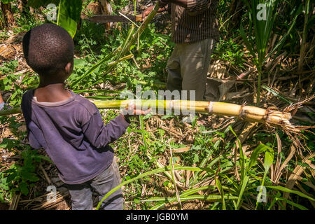 Young boy helping his father in harvesting sugar cane, Kenya - Stock Photo