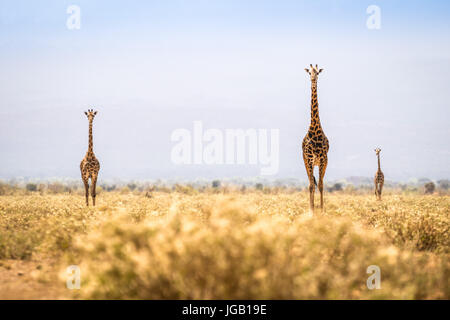 Three giraffes walking on savanna in Kenya - Stock Photo