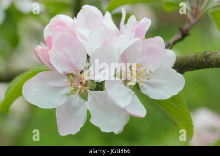 Malus 'Laxton's Fortune', apple blossom in full bloom in a traditional English orchard in early summer (May), UK - Stock Photo