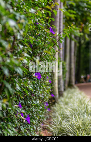 A wall covered in purple flowers and green leafs, with trees in the background and grass on the ground - Stock Photo