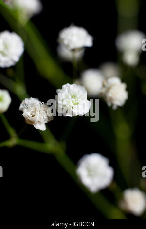 Close up of Baby's Breath on black background - Stock Photo