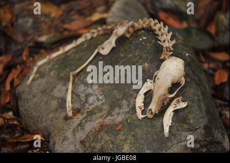 Small animal skeleton remains displayed on rock - Stock Photo