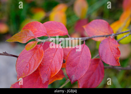 Red leaves at the Japanese garden in autumn. Close up. - Stock Photo