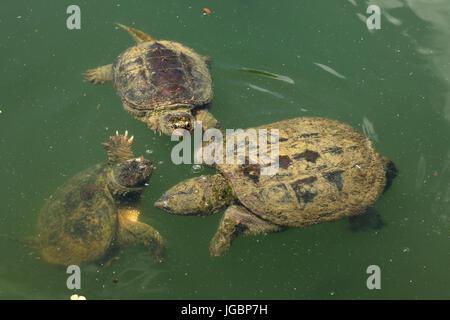 Snapping turtle, (Chelydra serpentina) - Stock Photo