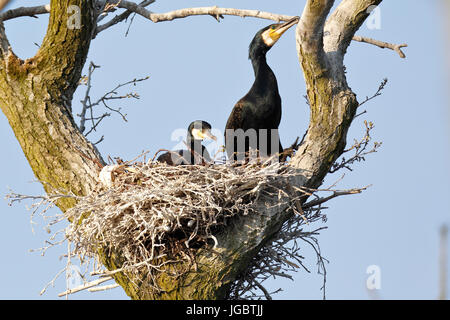 Great cormorants (Phalacrocorax carbo), couple in nest in tree, nature river area Peenetal, Mecklenburg-Western - Stock Photo