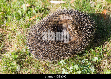 Spoiled hedgehog in the ball is on the grass, cute hedgehog. - Stock Photo