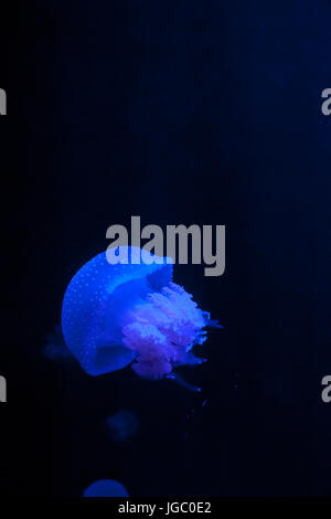Single White Spotted Jellyfish in Blue Water, Phyllorhiza punctata - Stock Photo