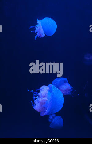 Group of White Spotted Jellyfish in Blue Water, Phyllorhiza punctata - Stock Photo