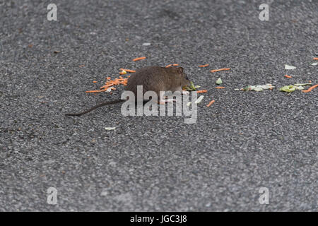 Brown Rat, Rattus norvegicus, eating scraps of food left in a fast food restaurant car park. Penrith, Cumbria. - Stock Photo