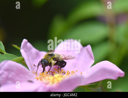 A bumble bee collects pollen from a rosa rugosa flower. - Stock Photo