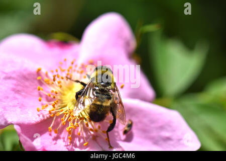 A bumble bee collects pollen from a rosa rugosa flower. Stock Photo