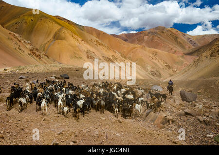 Goat herds and herder,Agua Negra pass, Chile-Argentina - Stock Photo