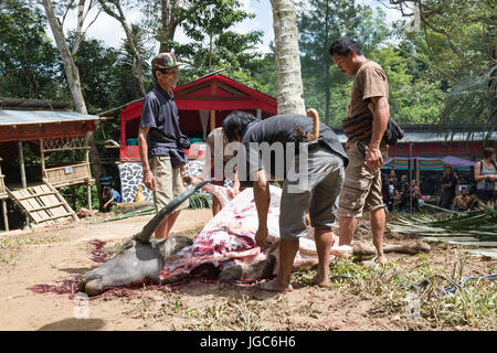 Water buffalo sacrificed for the funeral celebration of an old man, Tana Toraja, Sulawesi, Indonesia - Stock Photo