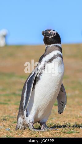 Monumento Natural Los Pinguinos, Isla Magdalena, Punta Arenas, Chile - Stock Photo