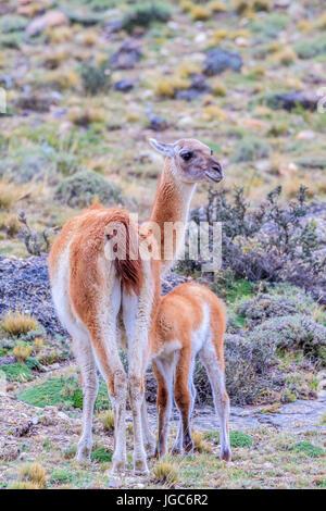 Guanakos (Lama guanicoe), Torres del Paine National Park, Patagonia, Chile - Stock Photo
