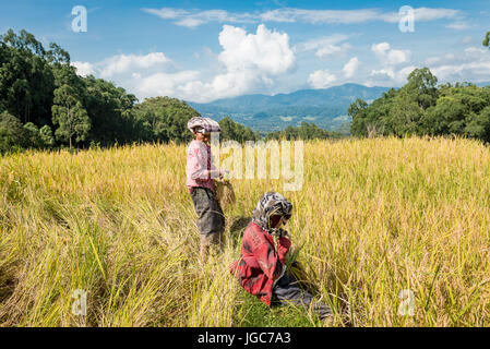 Woman harvesting rice, Sulawesi Indonesia - Stock Photo