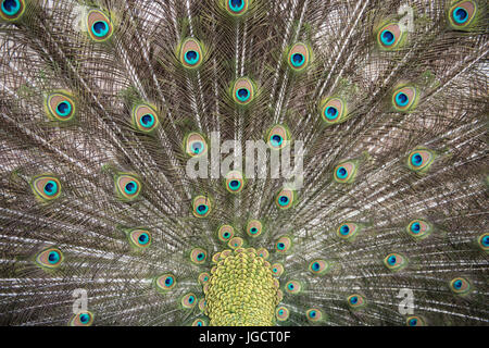 Portrait of a peacock - Stock Photo