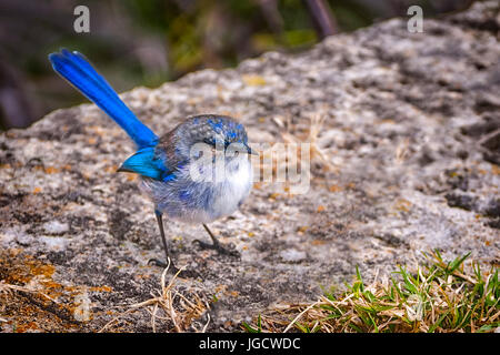 Splendid Fairy Wren (Malurus splendens), Perth, Western Australia, Australia - Stock Photo