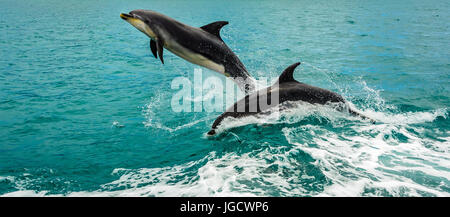 Two dolphins jumping out of the ocean, Bay of Islands, North Island, New Zealand - Stock Photo