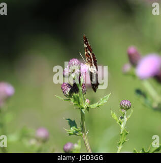 Map butterfly (Araschnia levana) - Stock Photo