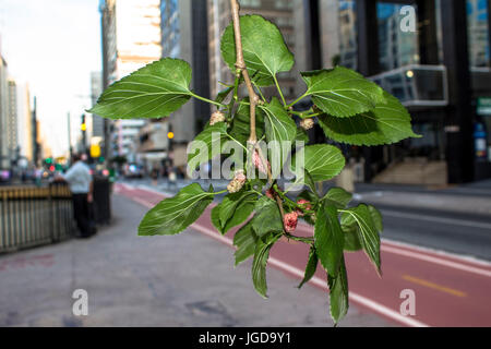 Amora grown, Morus SP, Cyclist Square, 17.09.2015, Capital, Paulista Avenue, São Paulo, Brazil. - Stock Photo