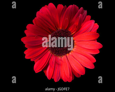 red flower on black background - Stock Photo