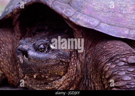 Snapping turtle (Chelydra serpentina), Presque Isle State Park, Pennsylvania - Stock Photo