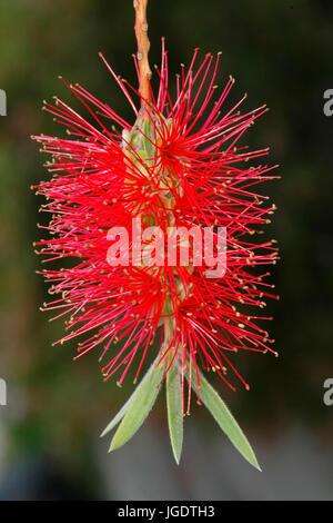 Zylinderputzer, blossom, Perth, west Australia, Blüte, West Australien - Stock Photo