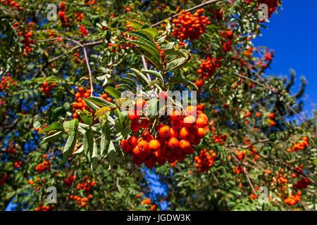Rowanberry, Sorbus aucuparia, Vogelbeere (Sorbus aucuparia) - Stock Photo