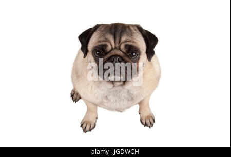 top view, cute grumpy pug puppy dog seen from above, isolated on white background - Stock Photo