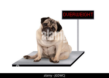 heavy fat pug puppy dog sitting down on vet scale with overweight LED sign, isolated on white background - Stock Photo
